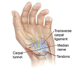 Palm view of hand showing carpal tunnel in wrist.